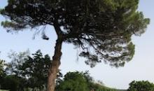 Grand cyprès